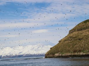 Flying puffins at puffin island Iceland