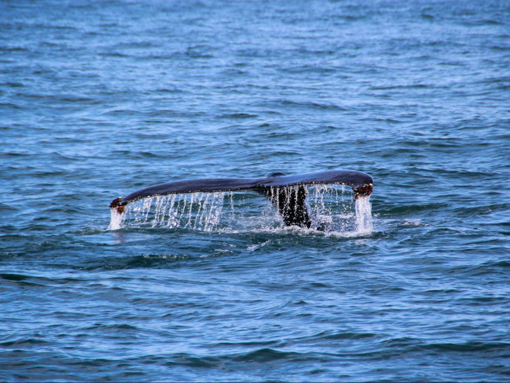 Tail of a whale above the water