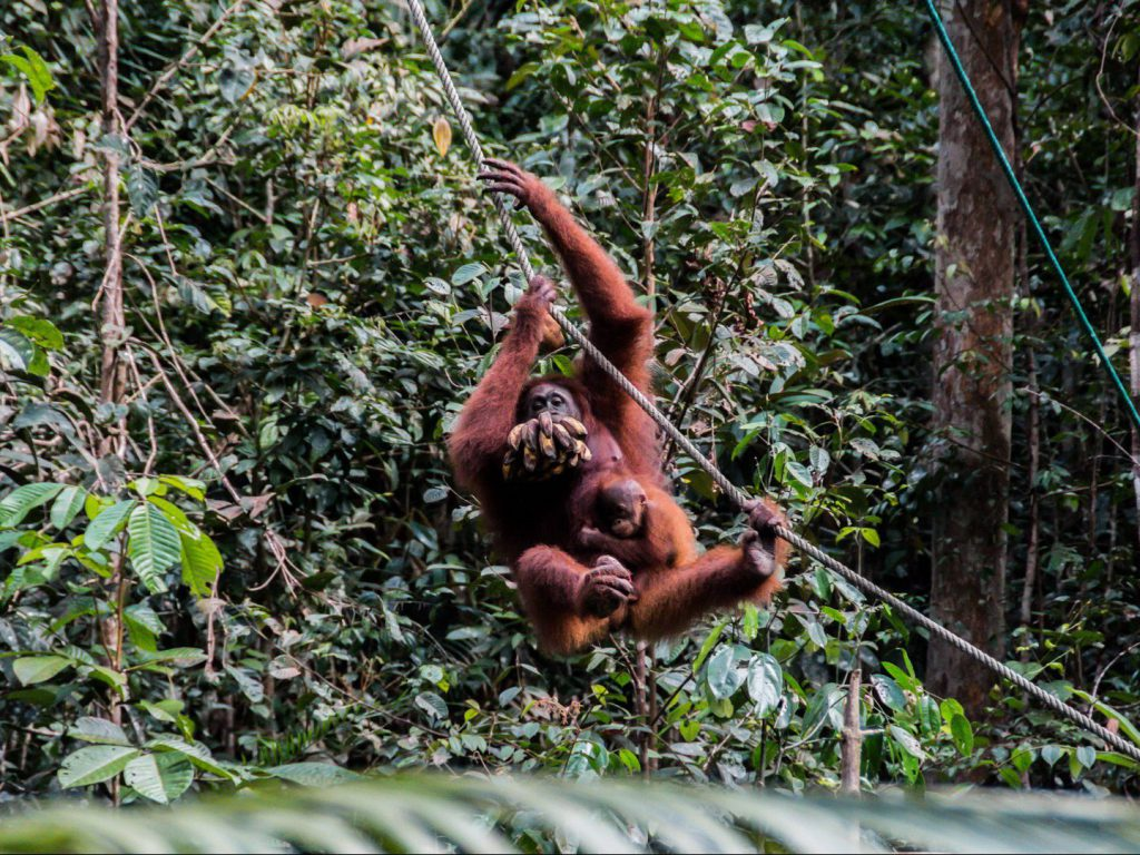 Orangutan with a baby swings down a rope with a bunch of bananas Semenggoh Wildlife Centre Borneo