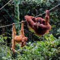 Meet orangutans at the Semenggoh Wildlife Centre