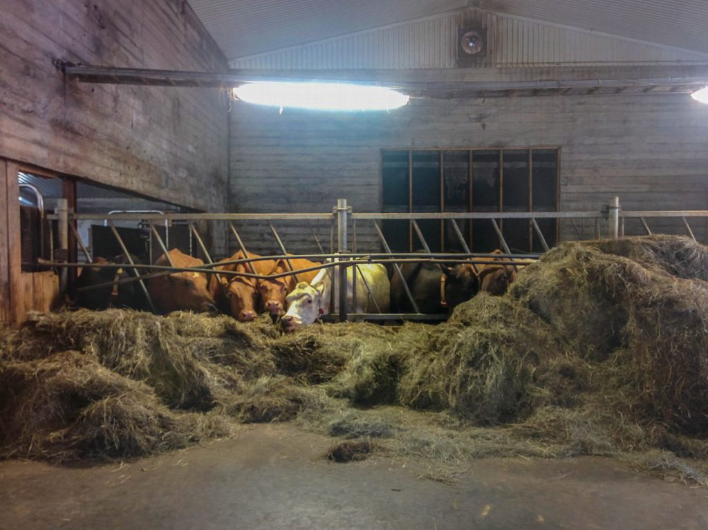 Cows are eating hay in cowshed Efstidalur farm Iceland