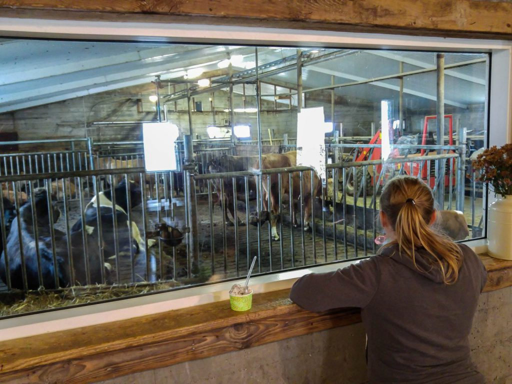 Eating ice cream with a view of cowshed behind glass Efstidalur farm Iceland