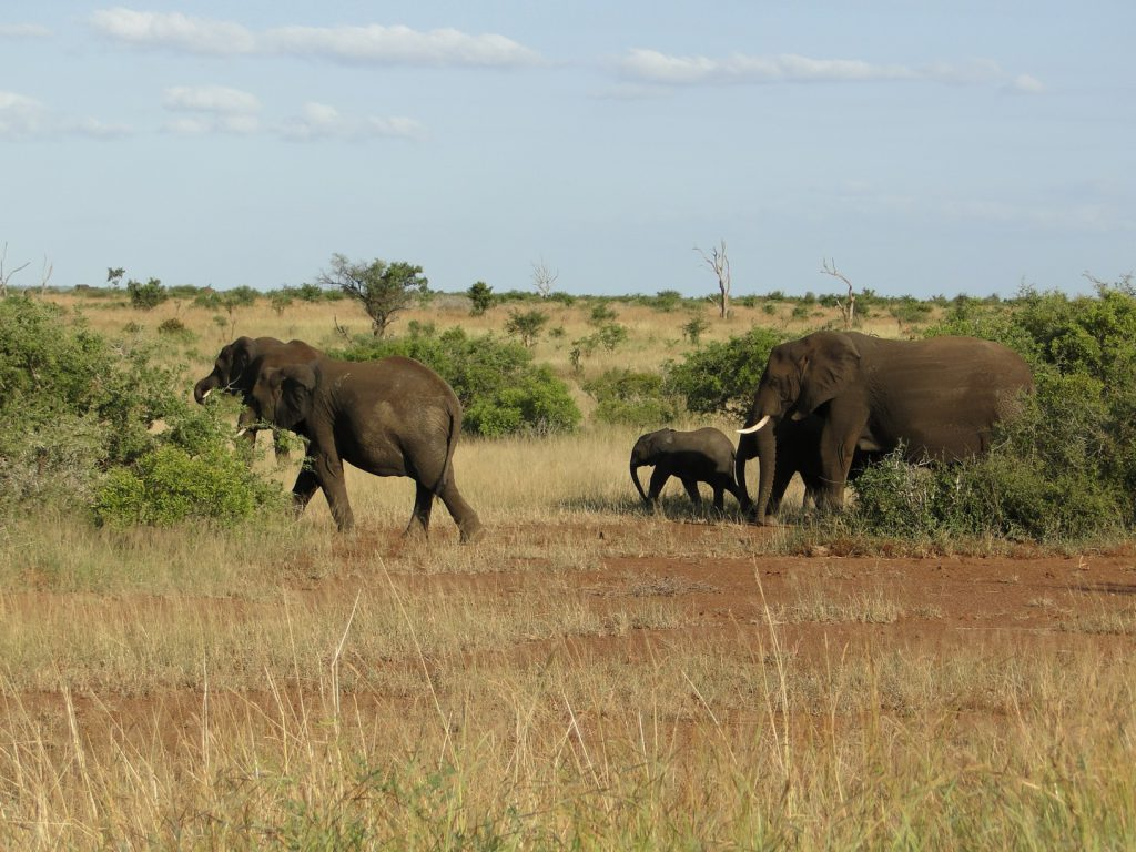 Herd of elephants with a calf at Addo National Park South Africa